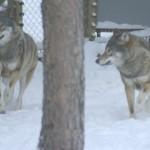 Vargar på Järvzoo i Järvsö. Foto Cicci Wik