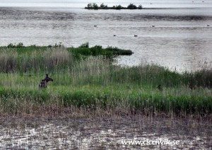 Älg med två kalvar vid Norra Hyn. Foto Cicci Wik